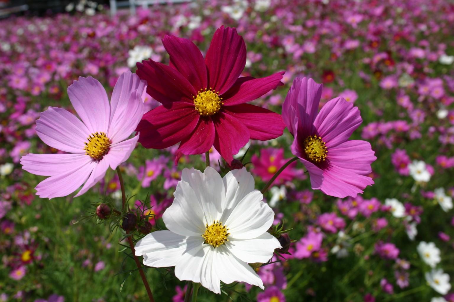 Catalogul Florilor | Cosmos