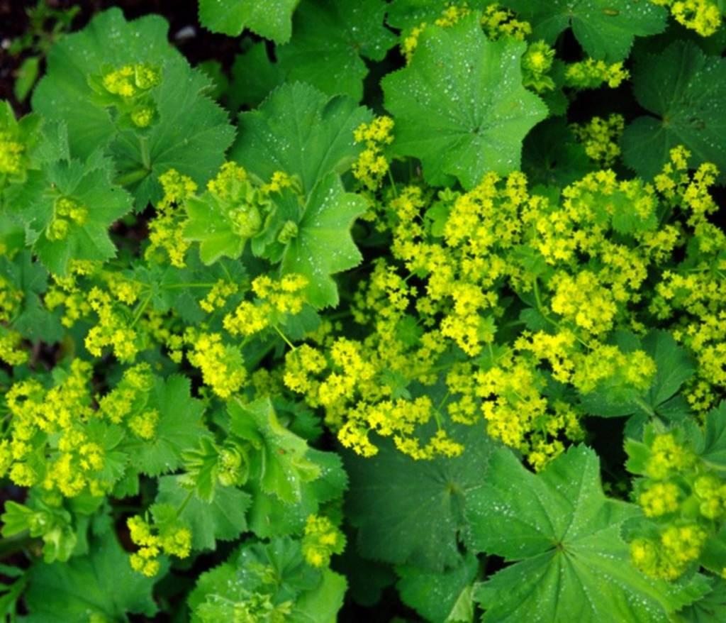 Catalogul florilor | Alchemilla