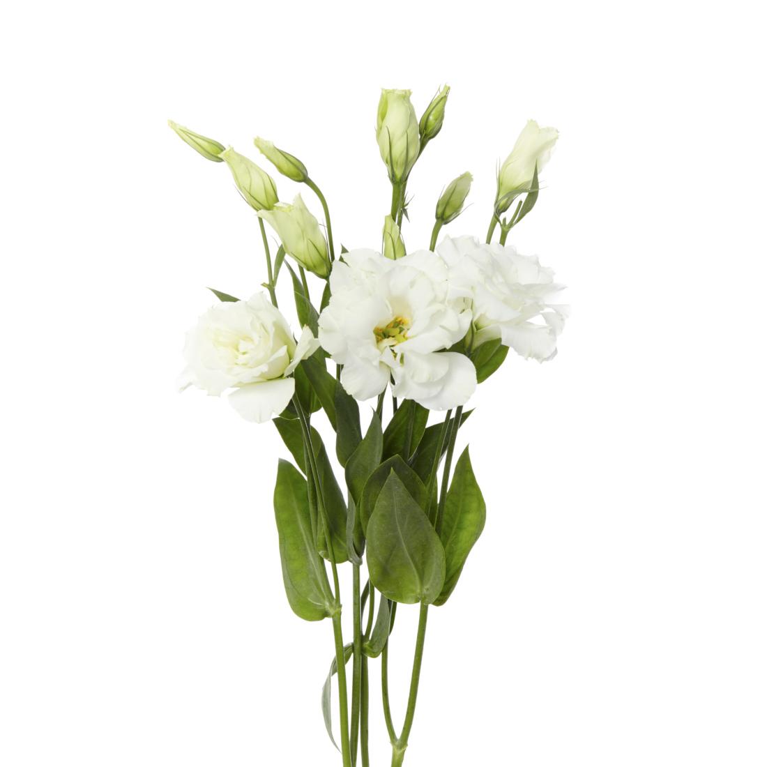 Catalogul Florilor | Lisianthus